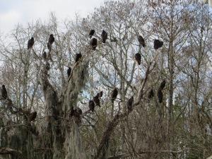 vultures 005